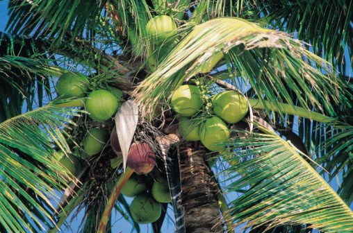 coconut tree investment
