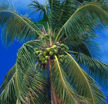 coconut investment in brazil nutritional