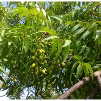 neem tree investment